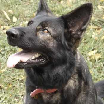 German Shepherd Missouri