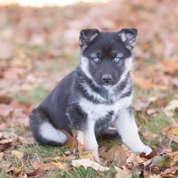 German Shepherd Mix Puppies For Sale In Michigan