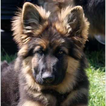 German Shepherd Mix Puppies For Sale In Ohio