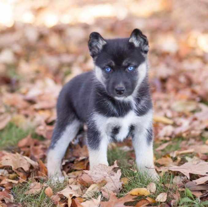 German Shepherd Mix Puppies Nc