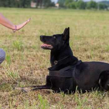 German Shepherd Obedience Training
