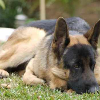 German Shepherd Odor