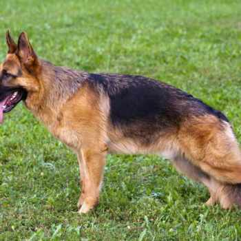 German Shepherd Personality