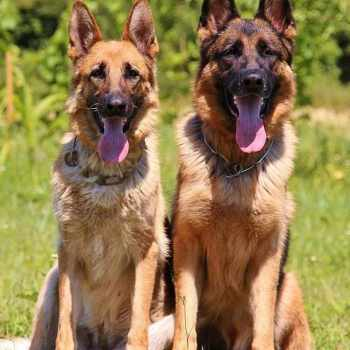 German Shepherd Police Dog Names