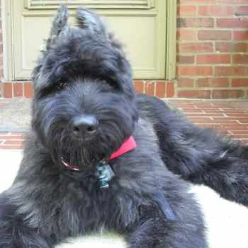 German Shepherd Poodle Mix Puppies For Sale