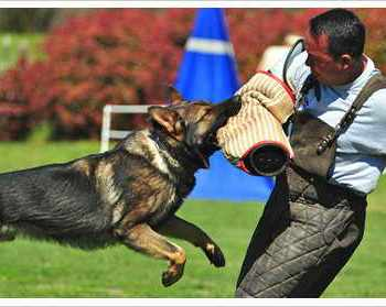 German Shepherd Protection Dogs For Sale