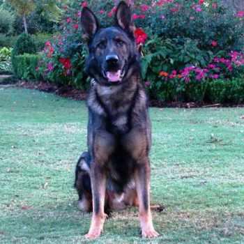 German Shepherd Protection Dogs
