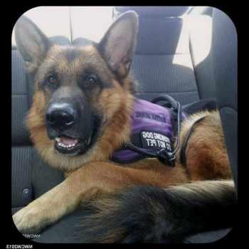 German Shepherd Ptsd Service Dog