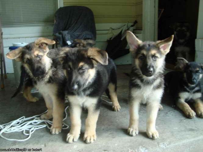 German Shepherd Puppies Amarillo Tx