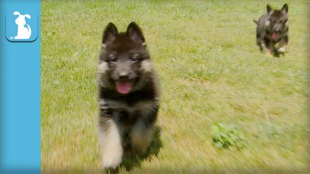 German Shepherd Puppies Anchorage