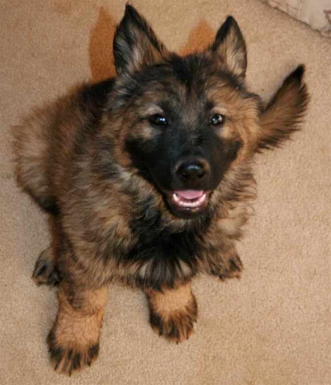 German Shepherd Puppies Az For Sale