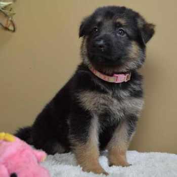 German Shepherd Puppies Chattanooga Tn