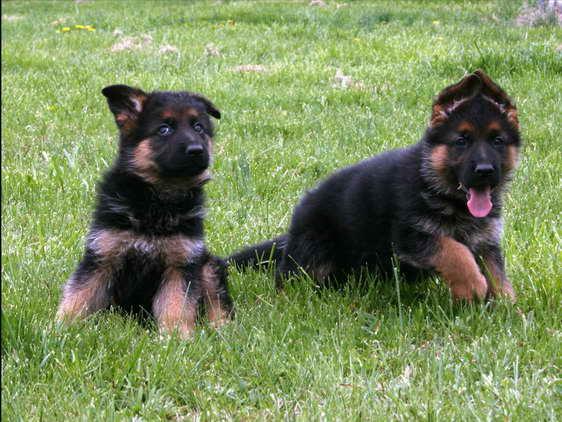 German Shepherd Puppies Cheap