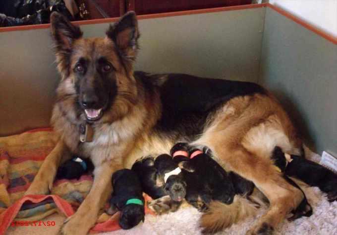 German Shepherd Puppies Cincinnati Ohio