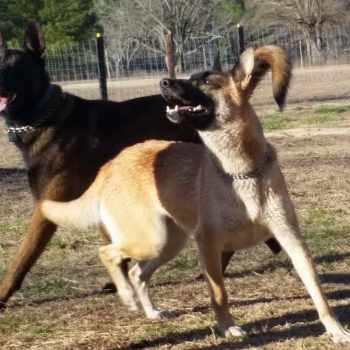 German Shepherd Puppies Fayetteville Nc
