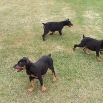 German Shepherd Puppies Florida Craigslist