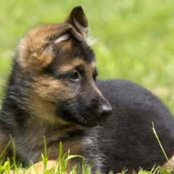 German Shepherd Puppies For Adoption Free