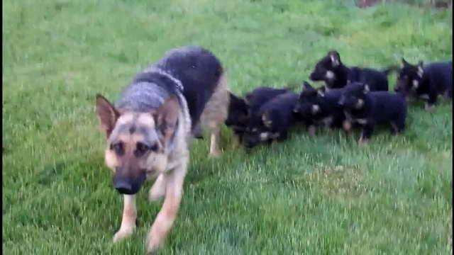German Shepherd Puppies For Adoption In Ga