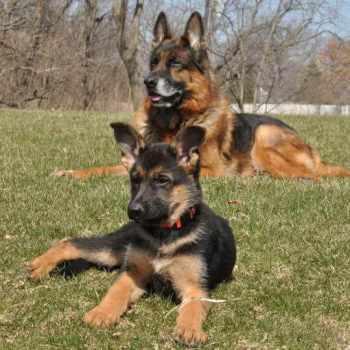 German Shepherd Puppies For Adoption In Illinois