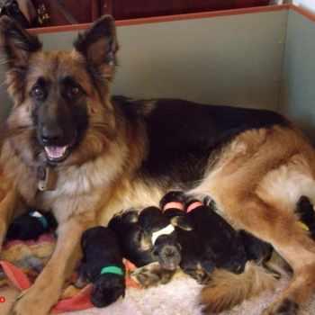 German Shepherd Puppies For Adoption In Miami