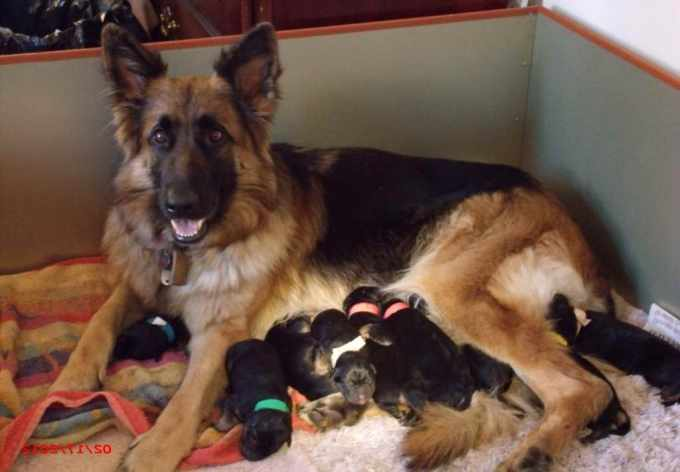 German Shepherd Puppies For Adoption In Miami