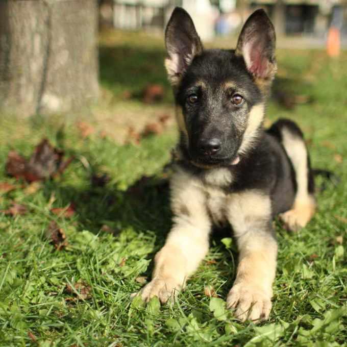 German Shepherd Puppies For Adoption In Nj