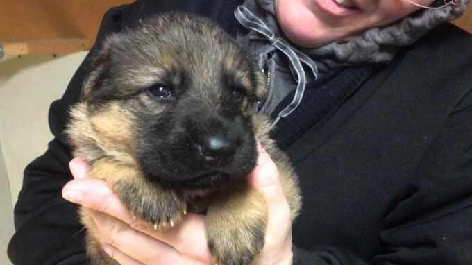 German Shepherd Puppies For Adoption In Pa