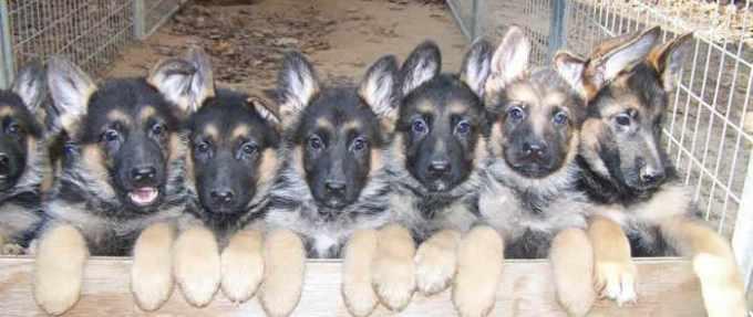 German Shepherd Puppies For Adoption In Wv