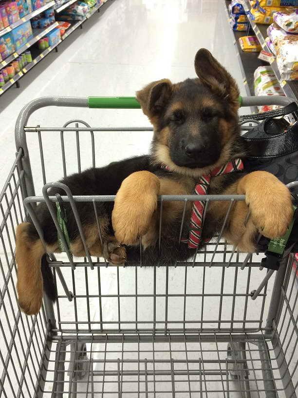 German Shepherd Puppies For Adoption Nc
