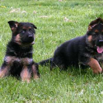 German Shepherd Puppies For Cheap