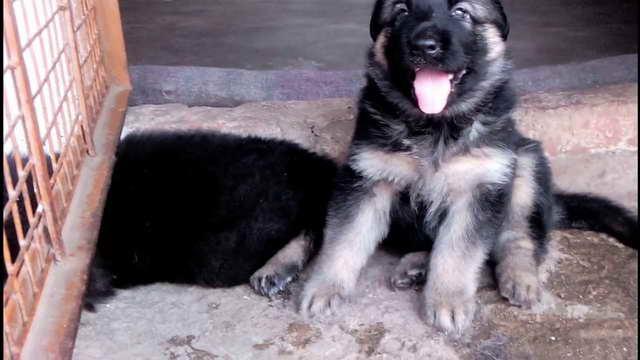 German Shepherd Puppies For Free