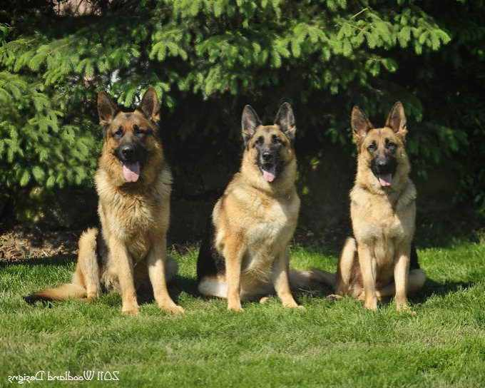 German Shepherd Puppies For Sale Akc