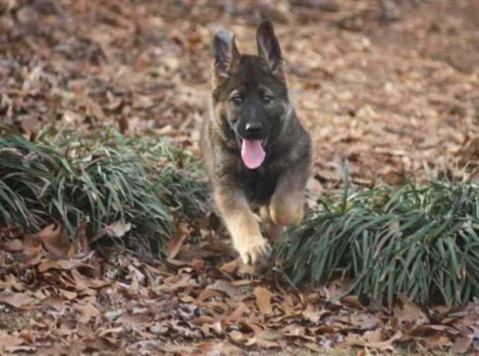 German Shepherd Puppies For Sale Alabama