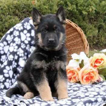 German Shepherd Puppies For Sale Erie Pa