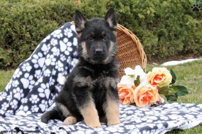 German Shepherd Puppies For Sale Erie Pa