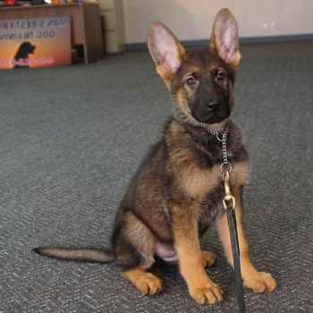 German Shepherd Puppies For Sale In Charleston Sc