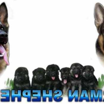 German Shepherd Puppies For Sale In Charlotte Nc