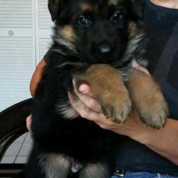 German Shepherd Puppies For Sale In Corpus Christi Texas