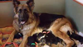 German Shepherd Puppies Amarillo Tx | Pets and Dogs