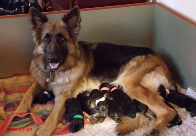 German Shepherd Puppies For Sale In Dallas Tx
