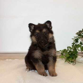 German Shepherd Puppies For Sale In Idaho
