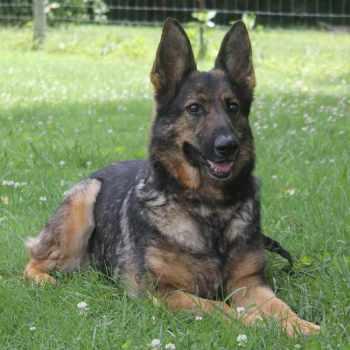 German Shepherd Puppies For Sale In Knoxville Tn