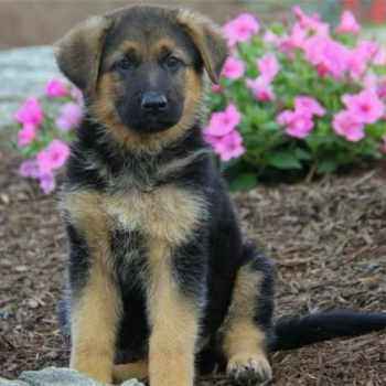 German Shepherd Puppies For Sale In La