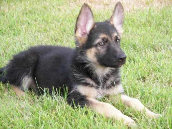 German Shepherd Puppies For Sale In Michigan Under 300