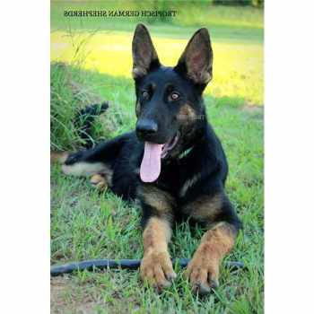 German Shepherd Puppies For Sale In Monroe La