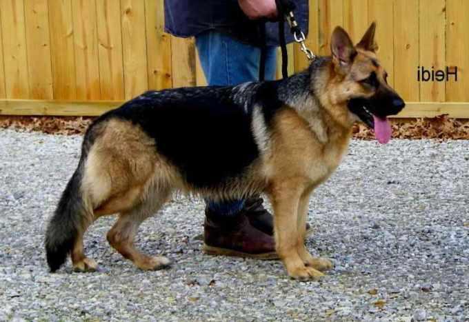 German Shepherd Puppies For Sale In Ms