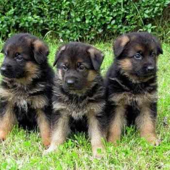 German Shepherd Puppies For Sale In Nashville Tn
