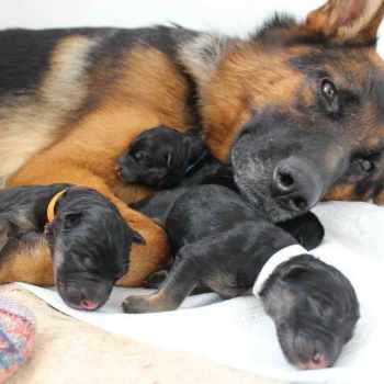 German Shepherd Puppies For Sale In New York State