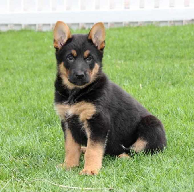 German Shepherd Puppies For Sale In Nj Craigslist
