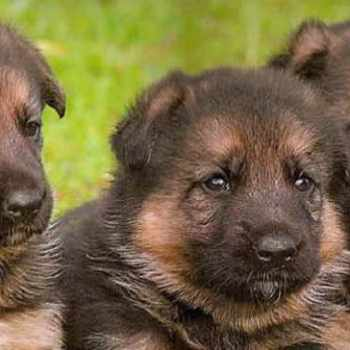 German Shepherd Puppies For Sale In Nj